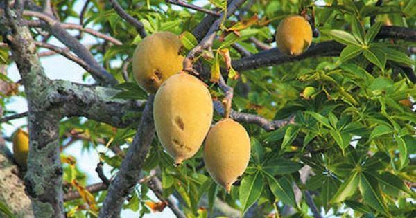 kakadu plum, gubinge, Murunga, Bilygoat Plum