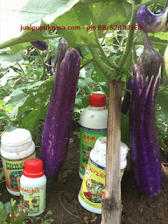 Terong ungu dengan aplikasi pupuk organik Nasa milik ibu Diyah, magetan jawa timur