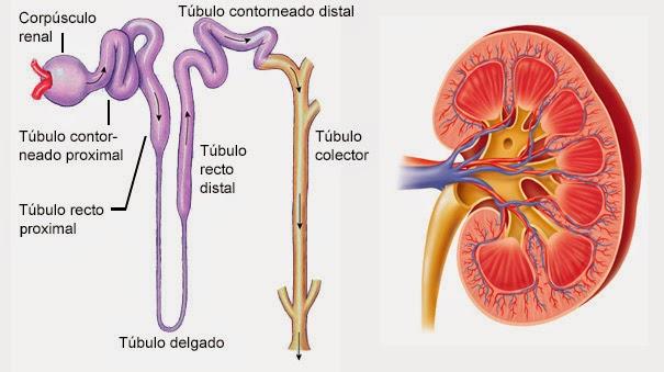 Sistema Urinario | Histología Veterinaria Universidad de Antioquia