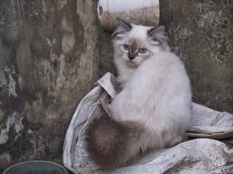 Kucing Persia Kucing Himalaya