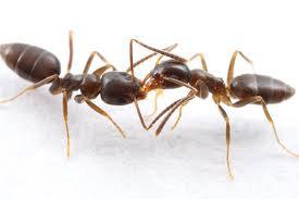 Semut yang Makan