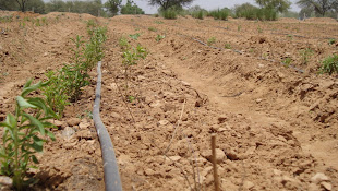Stevia Planted after Land Development