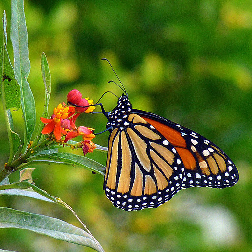 Here Are A Few Commonly Asked Questions About Monarch Butterflies.