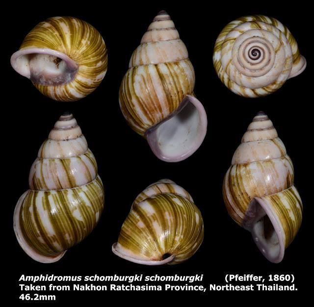 Amphidromus schomburgki schomburgki 46.2mm