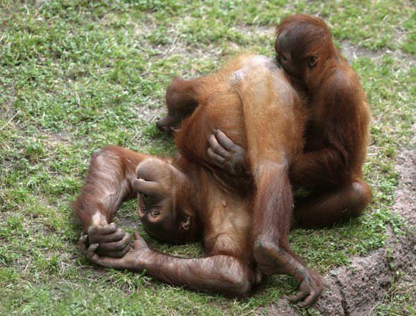 Funny Gorillas Photos | Funny Animals