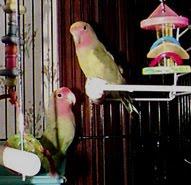 Tutti-Lovebird- 10 years old