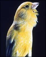 Cara memaster burung Kenari,