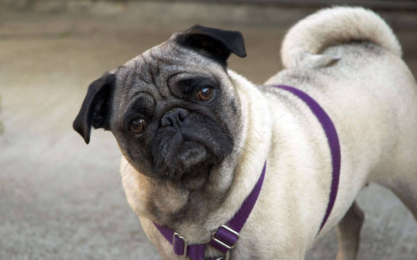 Pug Dog Best HD Wallpapers 2013 ~ All About HD Wallpapers