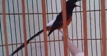 budidaya burung video youtube murai batu lampung