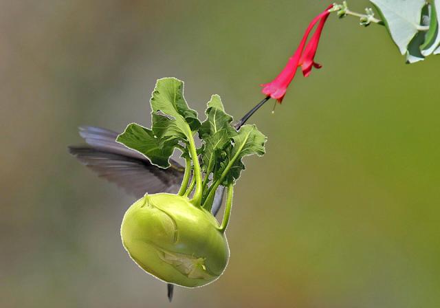 Kohlrabi or Kolibri