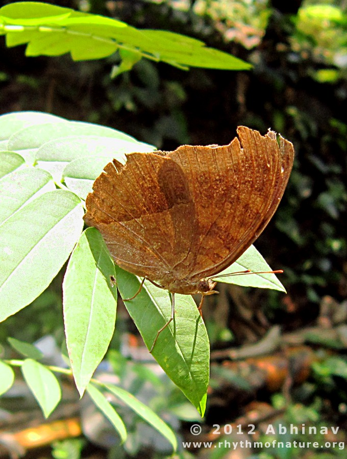 Brown Butterfly (Chocolate Pansy)
