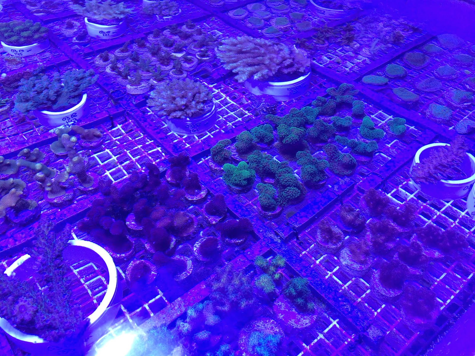 aquacultured coral frags