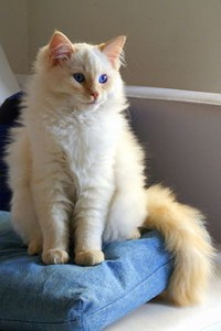 Ragdoll Cat Pictures