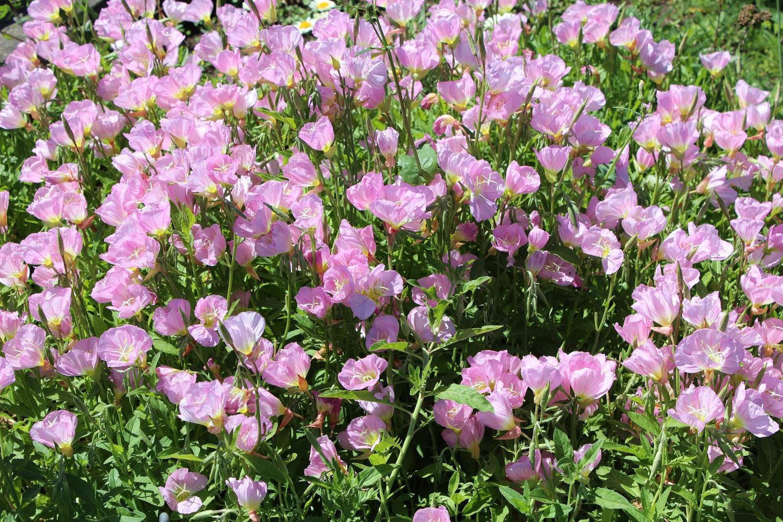 Выращивание энотера розовая 85
