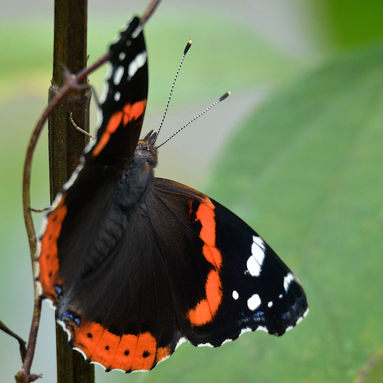 Red Admirals are seasonal migrants. They head south for the warm winters. They can't tolerate our freezing winters.