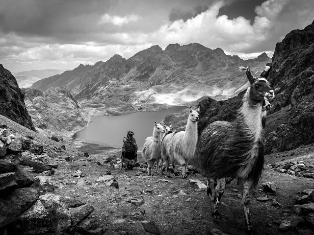 Llamas, Peru, mountain, black and white, picture