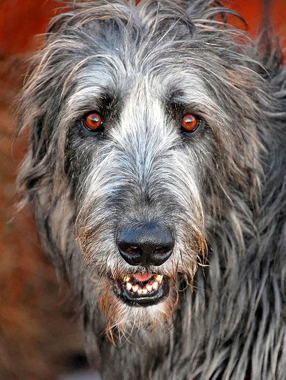 Giant wolf hound