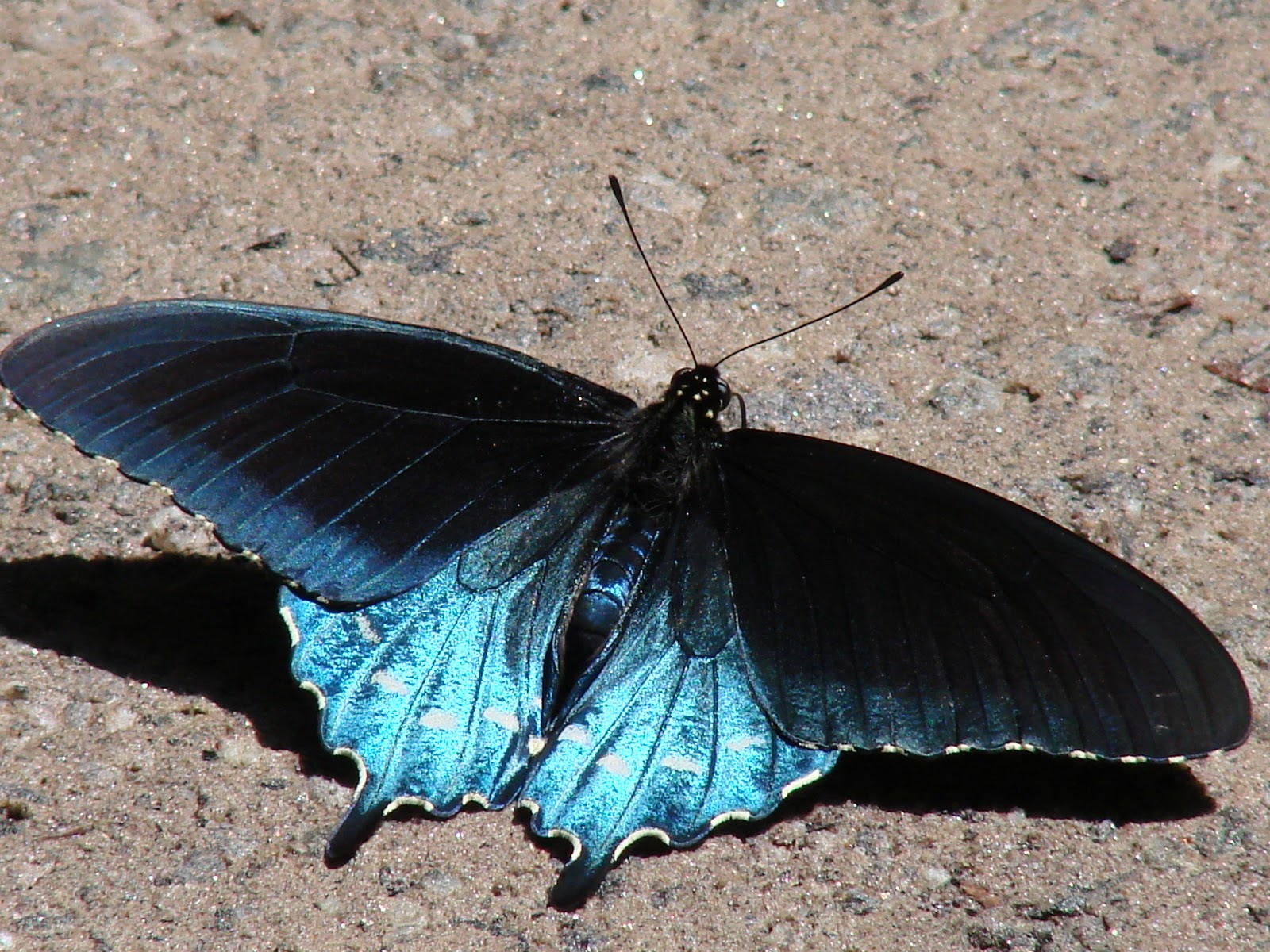 pipevine swallowtail the life of animals