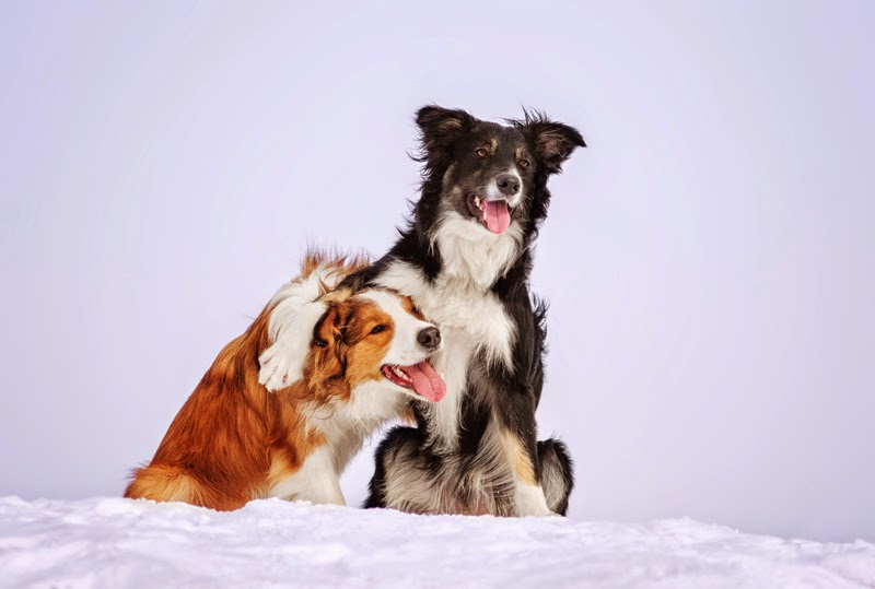 Two border collies perform a trick outdoors in winter