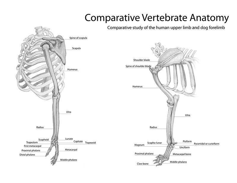 Niedlich Canine Elbow Anatomy Ideen - Menschliche Anatomie Bilder ...