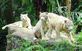 Zoo Animals - White tigers