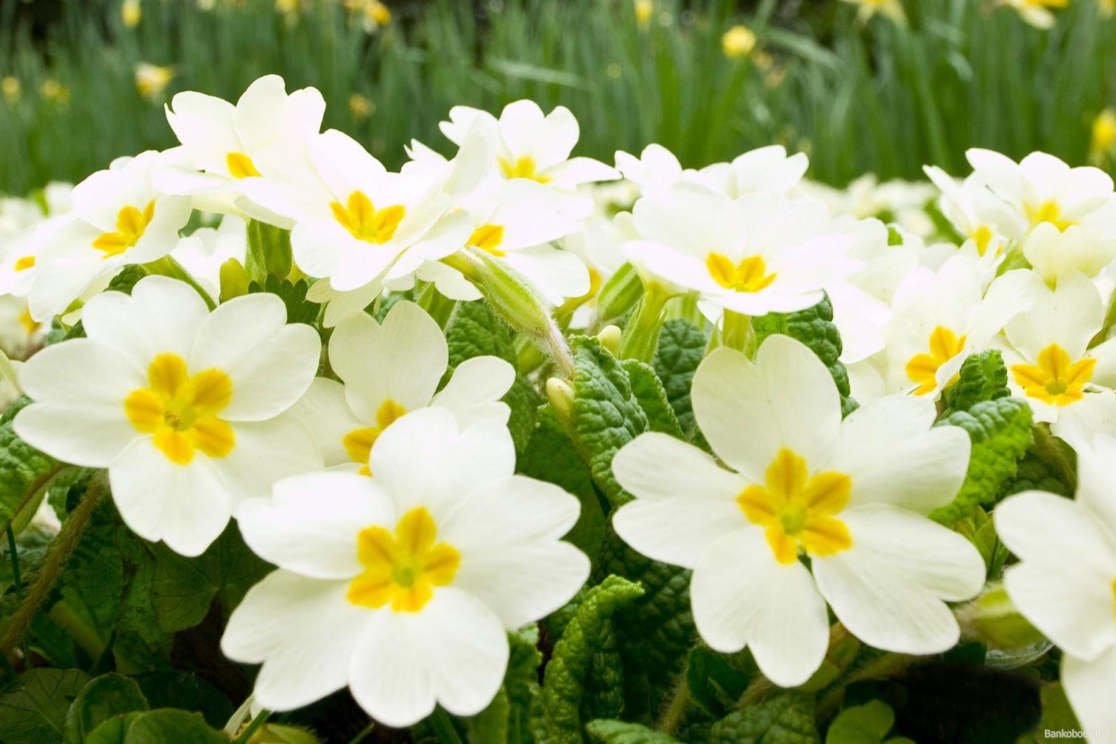 wallpapernarium Lindas flores blancas con centro amarillo