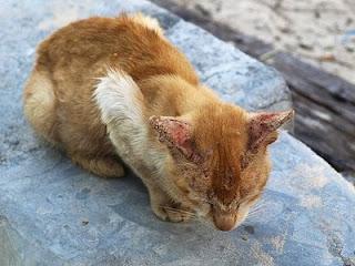 kucing kurap, ubat kucing kurap, krim kurap