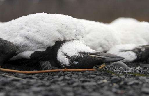 'It's pretty mind-blowing really' Thousands of Alaskan sea birds who have been dying by the...