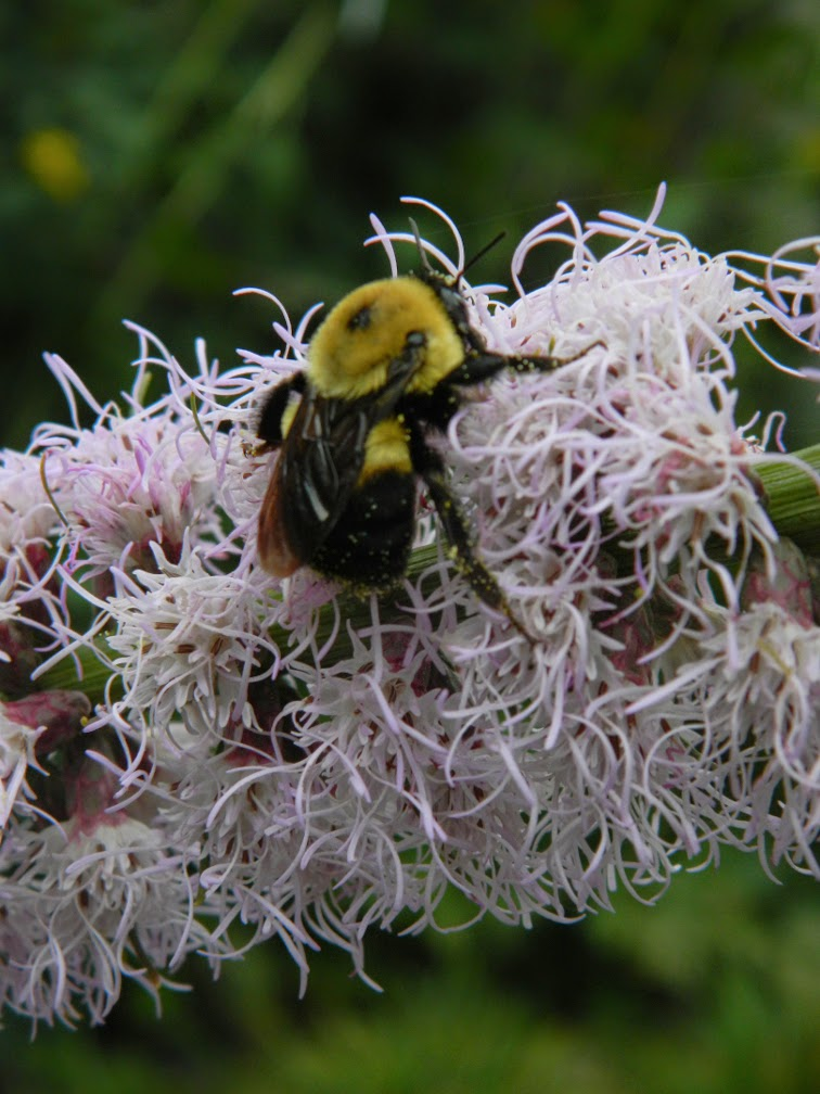 Bee on liatris spicata by garden muses-not another Toronto gardening blog