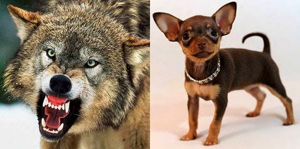 Till vänster: varg. Till höger: hund av rasen russkiy toy.