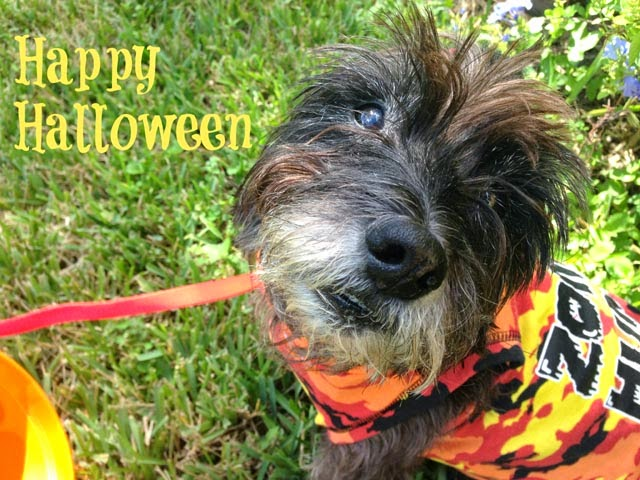 Oz the Terrier wears his zombie hunter sweatshirt to wish you all a Happy Halloween