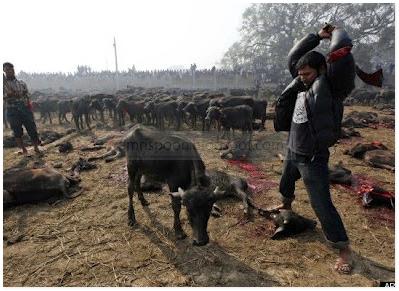 VIDEO Festival Pembunuhan Lembu di Nepal Paling Kejam Didunia