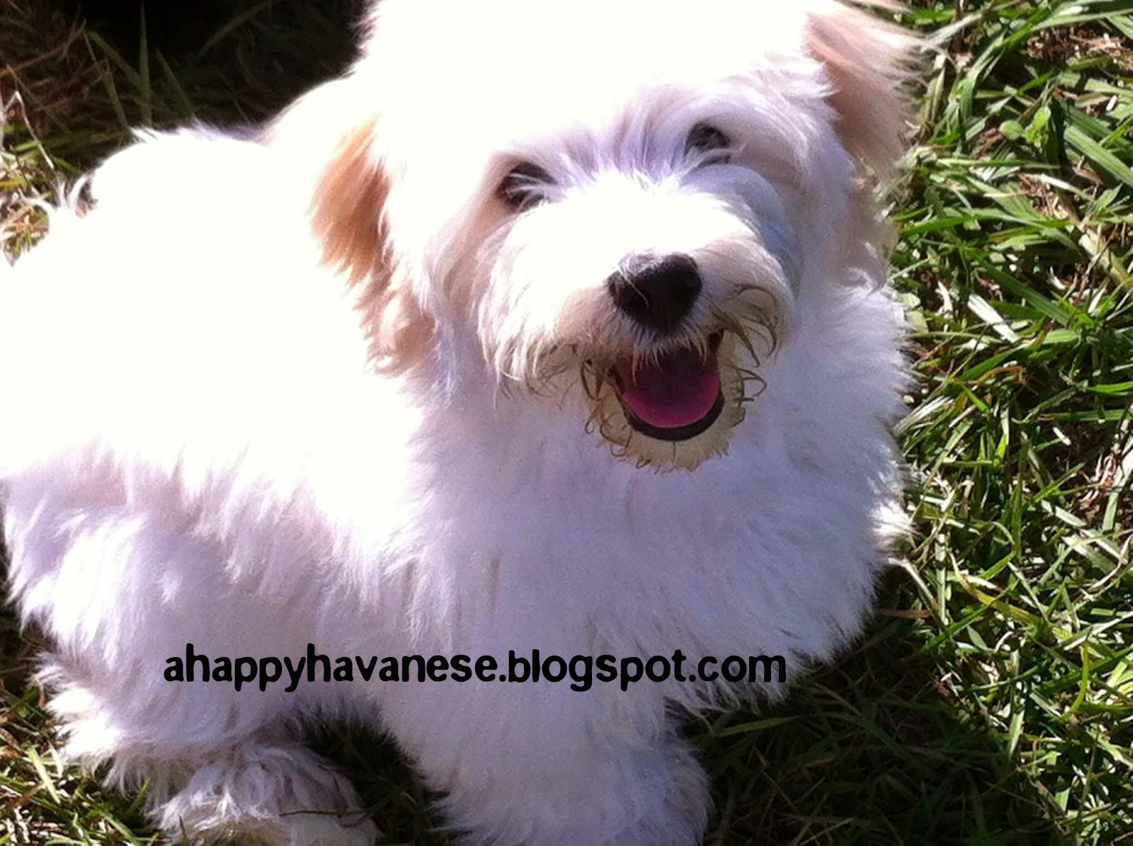 A Happy Havanese