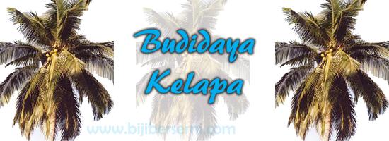 cara menanam kelapa hibrida, cara menanam kelapa gading, budidaya kelapa yang benar, kelapa