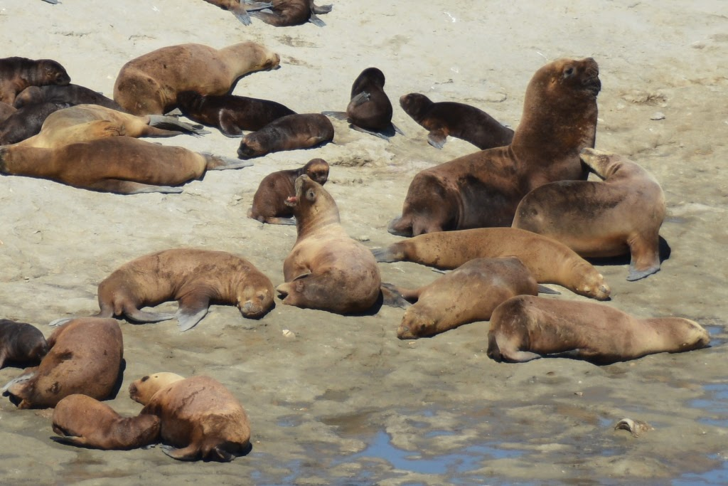 Peninsula Valdes sea lion