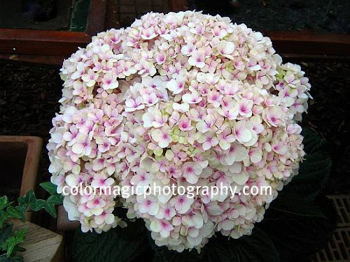 Giant pink hydrangea flower head-close up