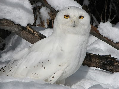 Beautiful Owls pictures