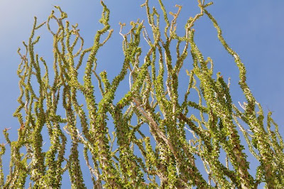 Sprawling ocotillo canes reaching for the sky
