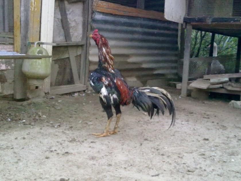 Selamat Datang ayam siam /ayam sabung