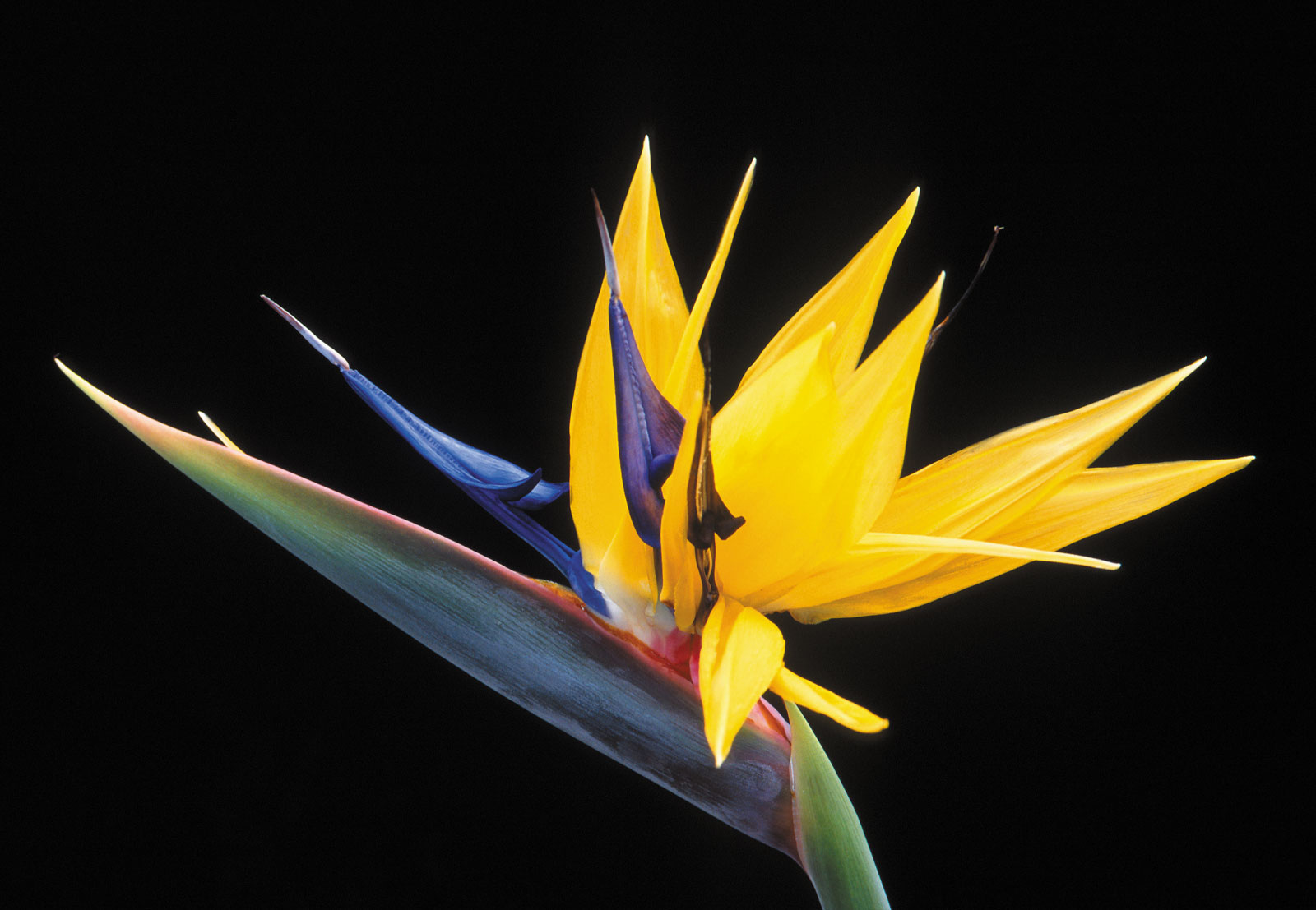 flowers for flower lovers.: Bird of paradise flower photos.