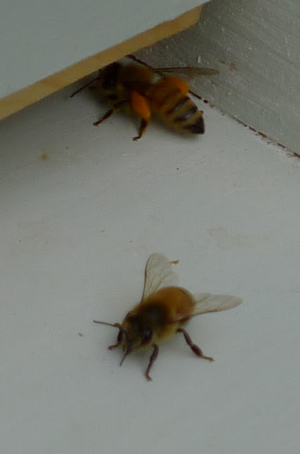 Be bringing pollen into the hive
