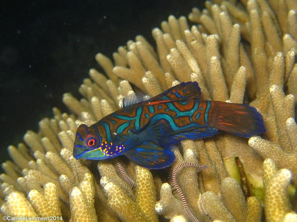 Mandarin fish, Talisay, Panagsama beach, Moalboal, Philippines