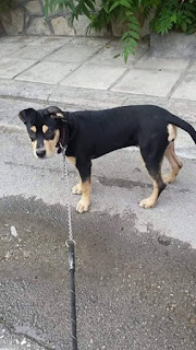 Βρέθηκε στον Ευοσμο στην οδό Κομνηνών θηλυκό σκυλάκι. Το ψάχνει κανείς?