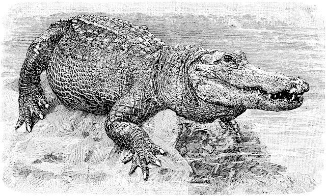 alligator, reptile, crocodilien, écailles, carnassier, carnivore, espèce menacée