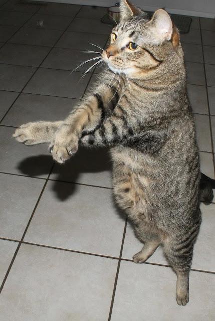 Cat doing oppa gangnam style