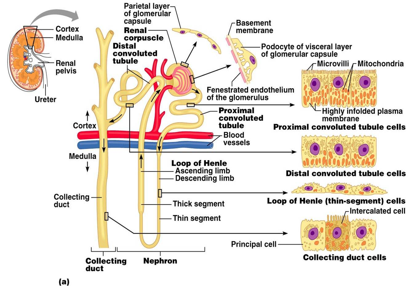nephron diagram from a textbook nephron get free image. Black Bedroom Furniture Sets. Home Design Ideas