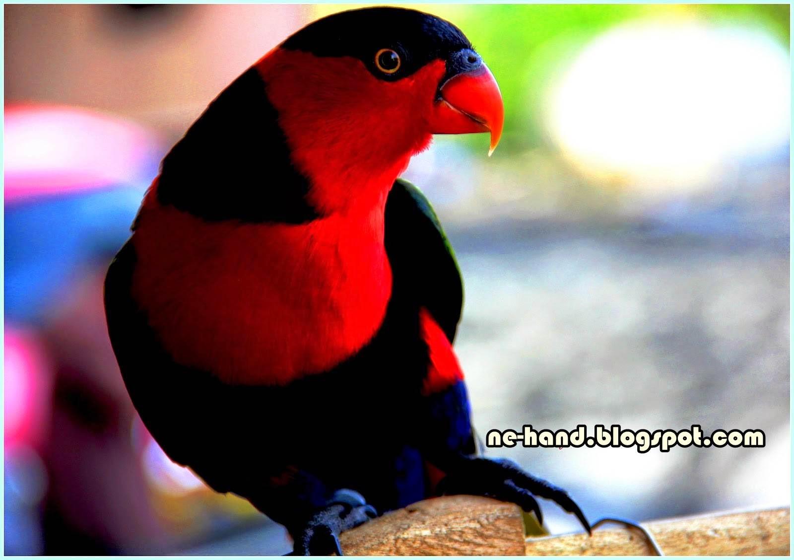 Cara Memilih Burung Nuri Kepala Hitam Yang Pintar Dan Bisa Bicara Kaskus