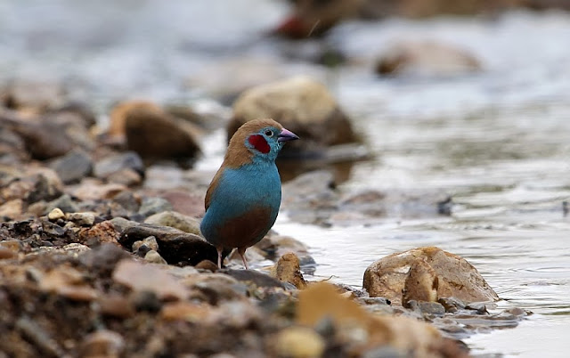 Red-cheeked Cordon-bleu (Uraeginthus bengalus) in Ethiopia