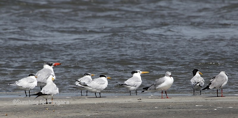 Lesser crested terns in Gambia