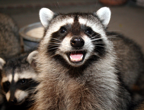 laughing raccoon
